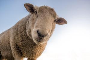 Un mouton curieux