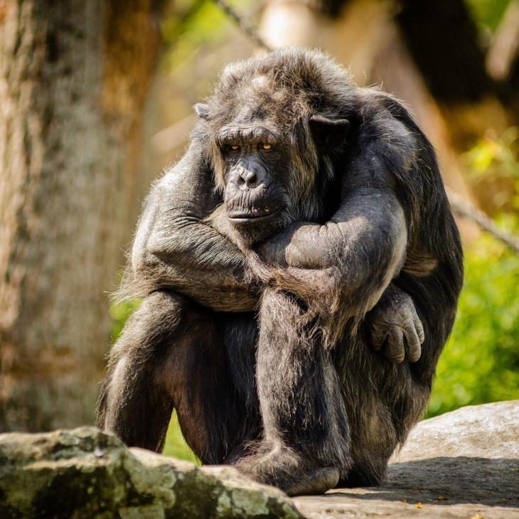 Un singe avec des pensées négatives