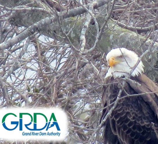 Eagle Watching at Grand Lake – GRDA's Eagle Pass