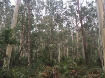 bluegumforest6