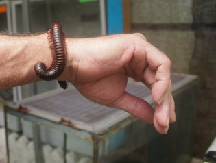 large millipede