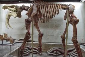 Bones in museum