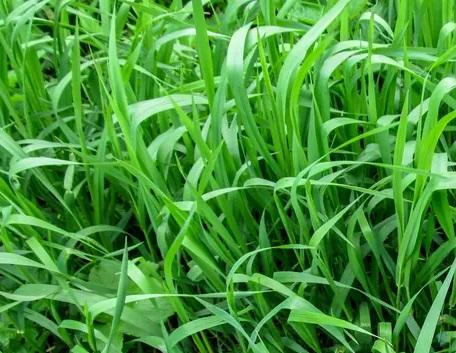 plante indésirable et envahissante: touffes de chiendent