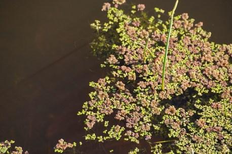 plante aquatique lentilles d'eau