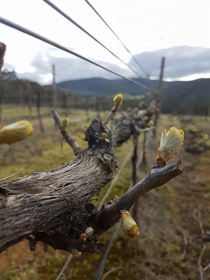 Shiraz Budding - Granite Rose Estate