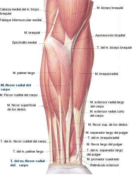 Musculos del brazo antebrazo y mano