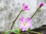 Broadleaved willowherb