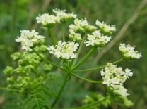 Hemlock - Conium maculatum