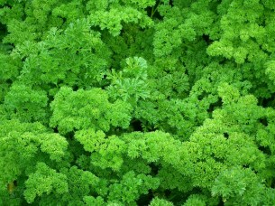 curly-parsley-261040_1280