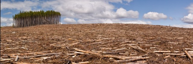 A pine forest is clearcut save for a small island of trees