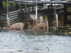 Rising sea levels are affecting farming in Tuvalu. Image credit: Erik van Sebille