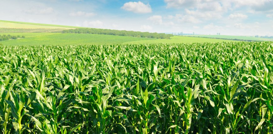 green corn field and blue sky