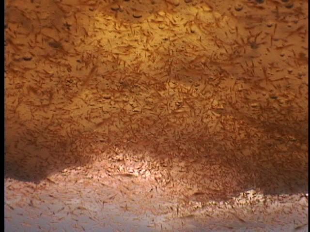 Krill swarm under sea-ice in Antarctica