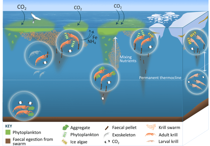Diagram adapted from image in Nature comms paper showing that Krill can release nutrients and produce fast sinking, carbon-rich poo pellets. The large size of krill, their high biomass in swarms and extensive vertical migrations over 100s of metres each day amplify their impact on their environment.