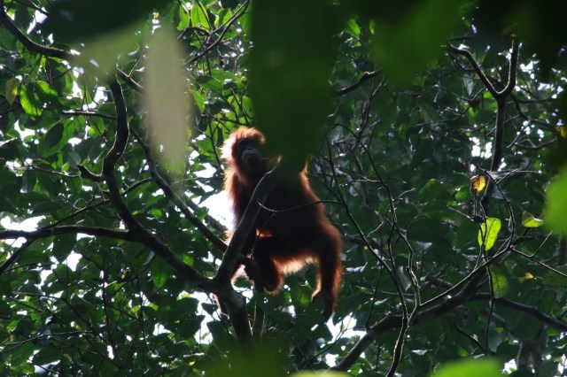 An orangutan climbs through the forest canopy in Gunung Leuser National Park, Indonesia