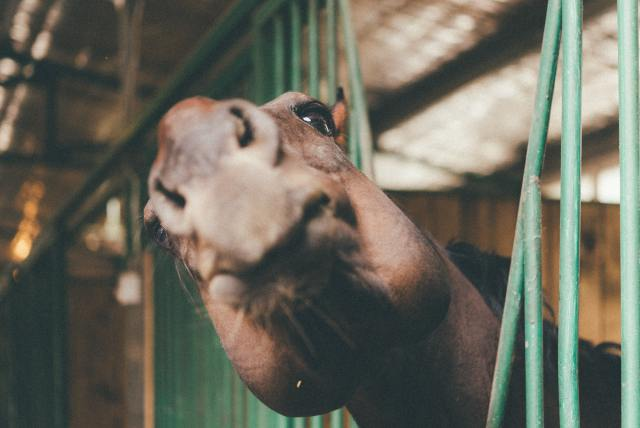 Funny photograph of a horse in a stables, it has its face close to the camera and is pouting its lips.