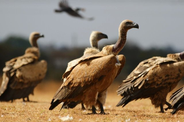 Vultures on the ground in a group. There is a vulture in flight in the background.