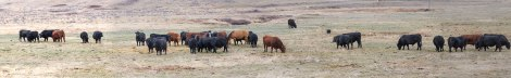 Grant-bull-field