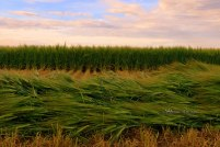 Standing Barley with swath in the foreground