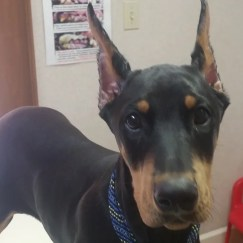 Doberman Puppy after Ear Crop Surgery at Granville Veterinary Clinic