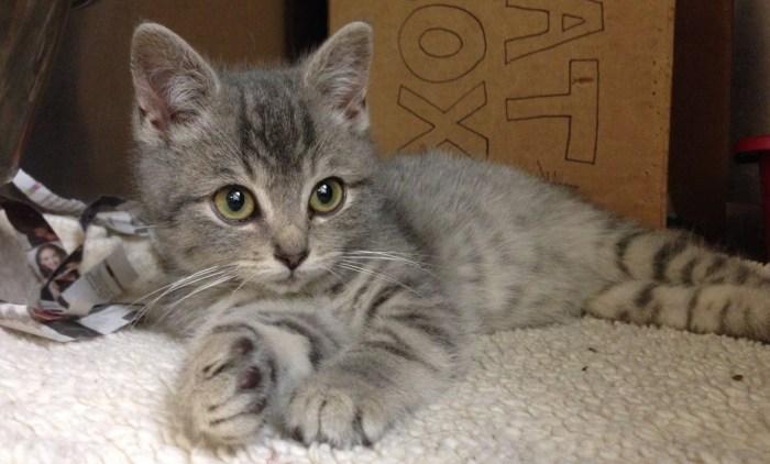Kitten at Granville Veterinary Clinic