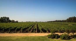 Vines at MontGras