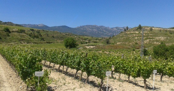 Ribera vineyards