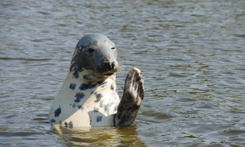 Seals On The Wane In Iceland