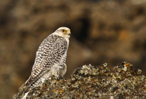Falcon Deaths Traced To Lack Of Ptarmigans