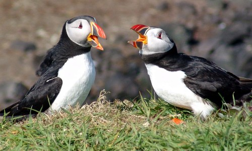 Puffins Being Shot By British Trophy Hunters