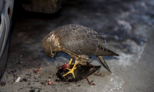 Falcon Destroys And Eats Starling – VIDEO