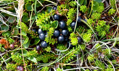 Man Convicted Of Brewing Crowberry Wine