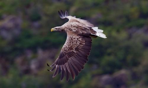 Eagle Spotted Over Reykjavík