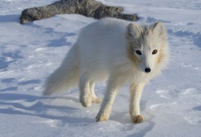 Man Fights To Keep Arctic Fox As Pet