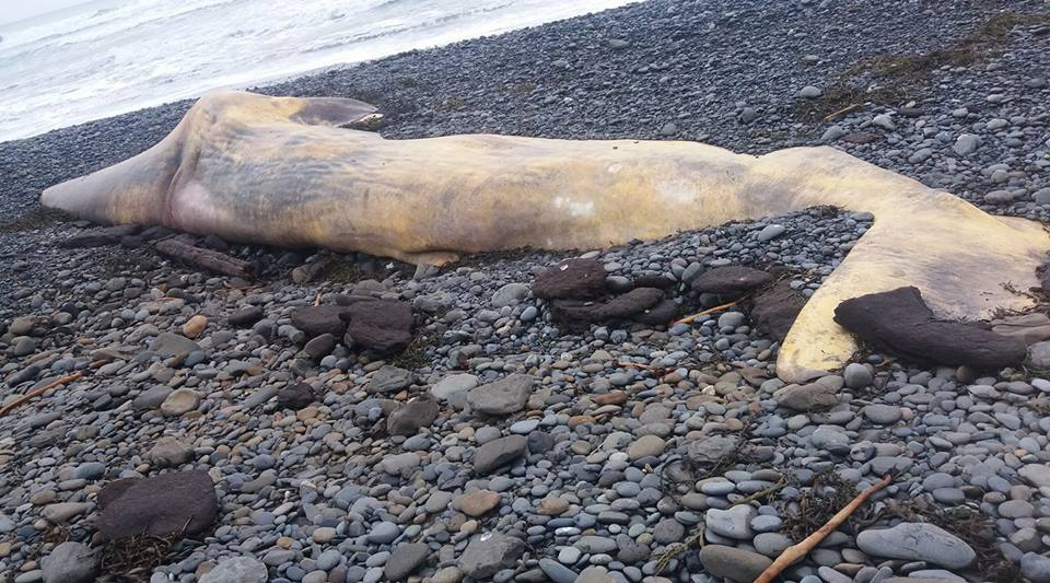 Beached Whale(?) Washes Up In Snæfellsnes
