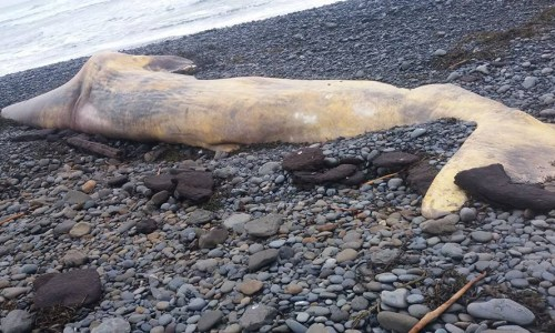 Mysterious Increase In Whale Beachings Around Iceland