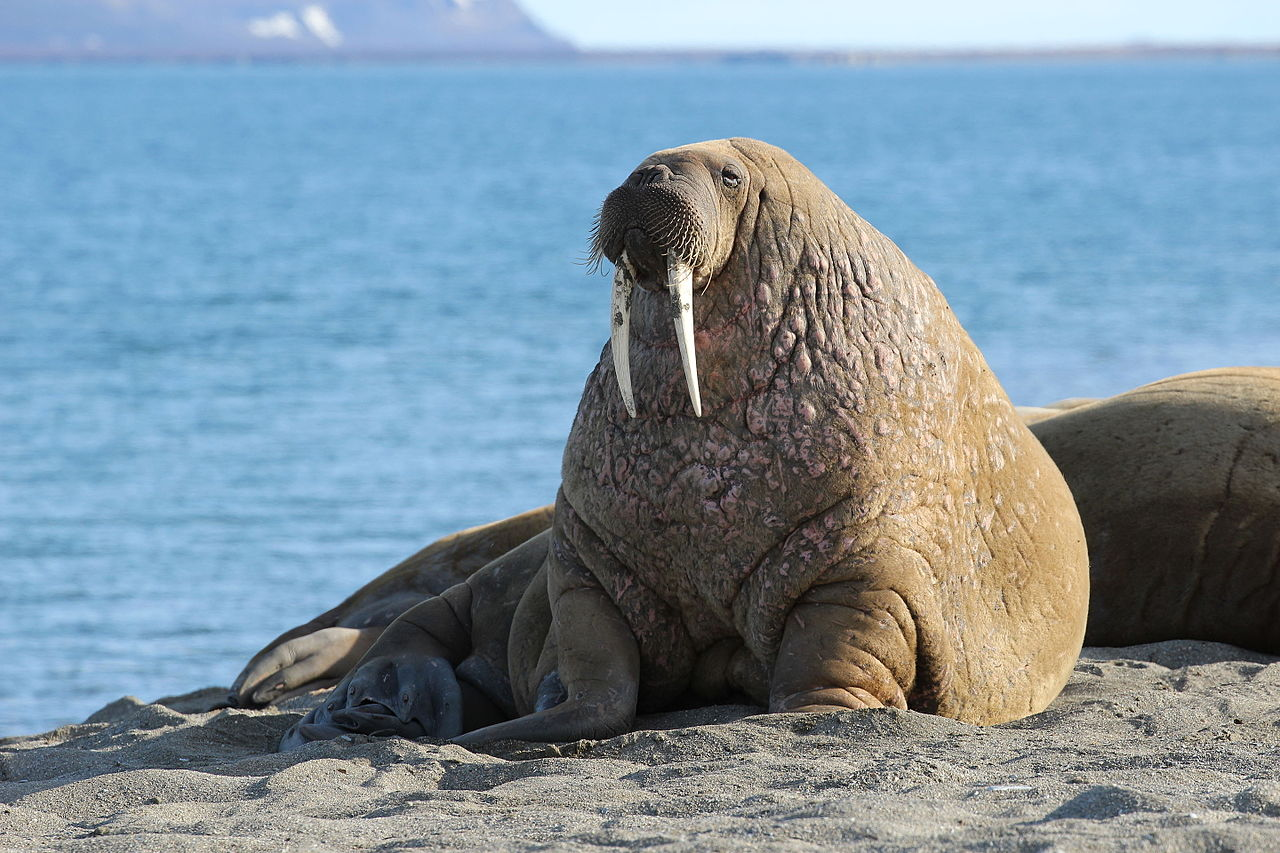 Man has sex with walrus