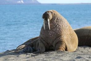 The Walrus Of Höfn May Be Irish