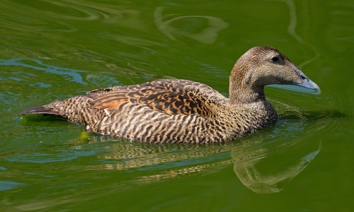 One-Winged Eider Duck Adopted By Icelandic Family