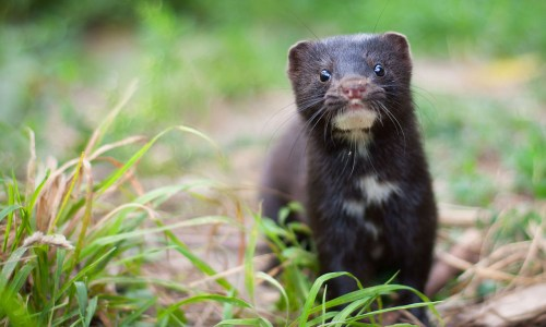 Owner Of Iceland's Largest Mink Farm Cautiously Optimistic About Improving Business