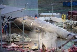 Thar She Blows: New Report On Whaling Raises Questions And Criticism