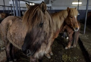 Boom In Export Of Icelandic Horses