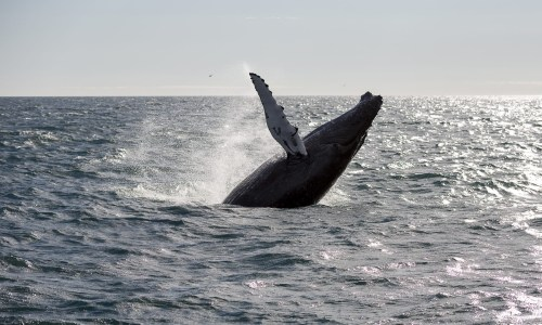 No Fin Whaling In Iceland This Summer