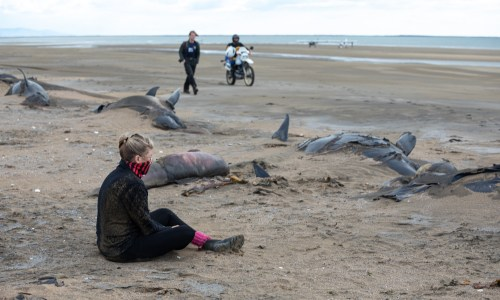 Photos: Mass Pilot Whale Death in Snæfellsnes, West Iceland