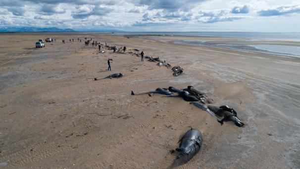 pilot whale stranding