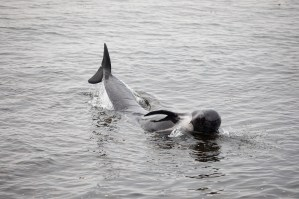 Stranded_Whales_BIC7720_by_bicnick
