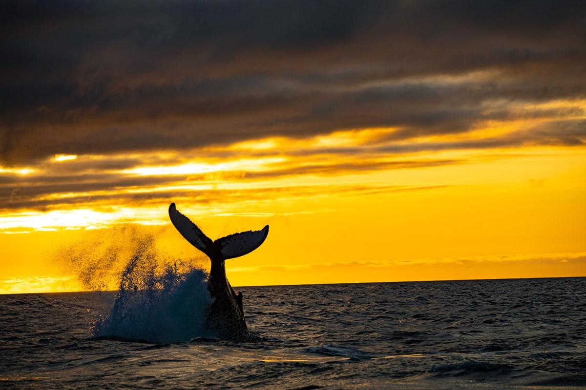 Unto The Breach: Encountering The Humpback Whale In Akureyri