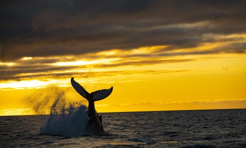 WHALES IN ICELAND! Everything you need to know!