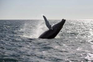 Breaching Humback Whale
