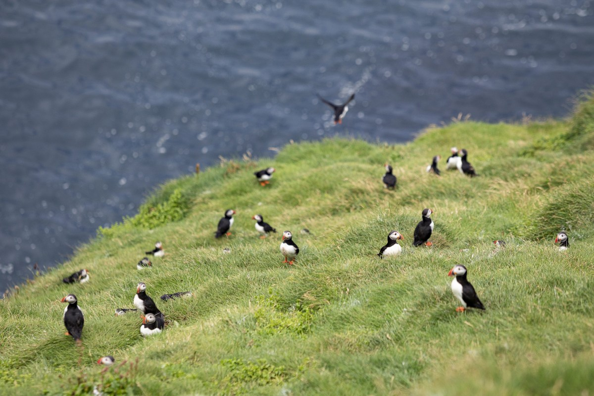 A Day In The 900: Food, Folks, And Fulmars In The Westman Islands